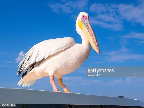 namibia, erongo province, portrait of white pelican - erongo stock photos and pictures