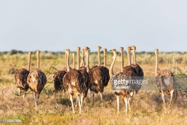 namibia, etosha national park, african ostriches, struthio camelus, young animals - avestruz fotografías e imágenes de stock