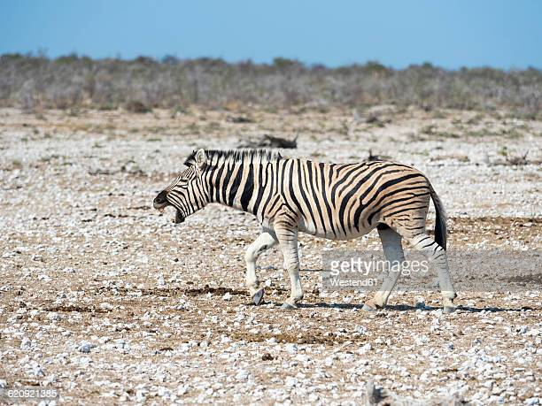 Namibia, Etosha National Park, Burchells zebra, Equus quagga burchellii, neighing