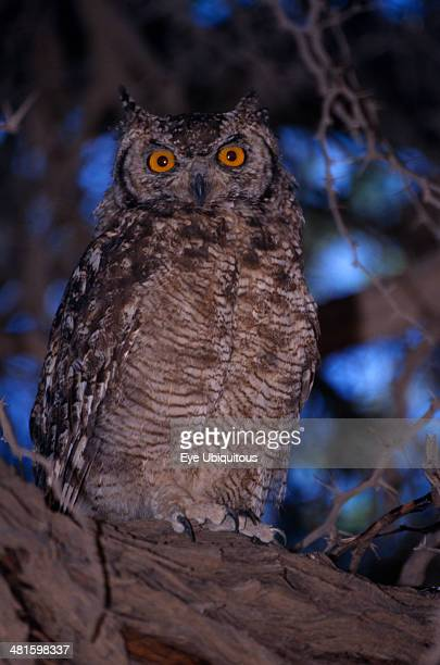 Namibia Etosha National Park Close up of a Spotted Eagle Owl sitting on an acacia tree branch