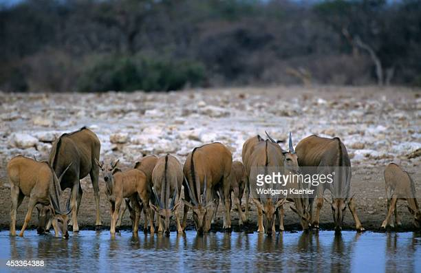 Namibia Etosha National Park Eland Herd At Waterhole
