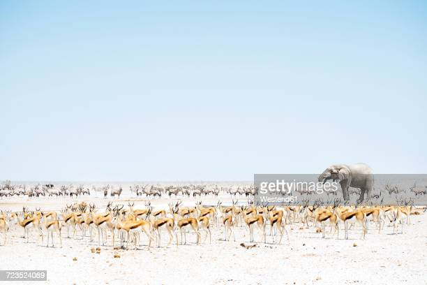 Namibia, Etosha National Park, elephant surrounded by Springboks and Oryx