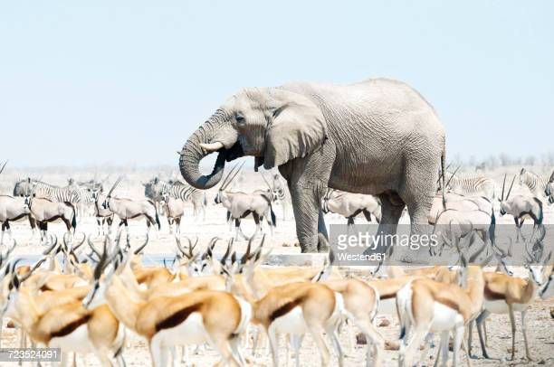 Namibia, Etosha National Park, elephant surrounded by Springboks, Oryx and Zebras