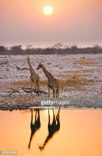 Namibia, Etosha National Park, giraffes at a waterhole at sunset