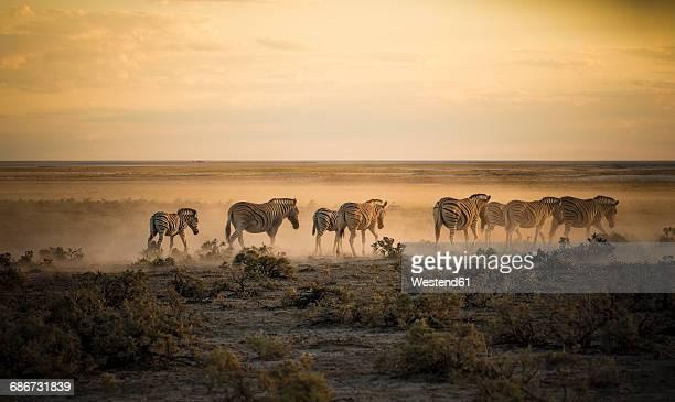 Namibia, Etosha National Park, Herd of zebras in morning light