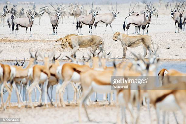 namibia, etosha national park, lions in a waterhole surrounded by springboks, kudus and zebras - namibia fotografías e imágenes de stock