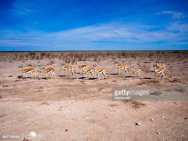 namibia, etosha national park, okaukuejo, springboks - springboks stock photos and pictures