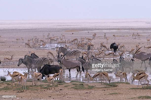 Namibia Etosha National Park Oryx Springbucks Wildebeeste Burchell's Zebra At Waterhole