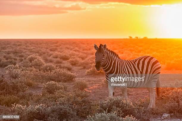 Namibia, Etosha National Park, plains zebra by sunset