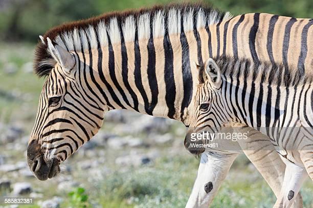 Namibia, Etosha National Park, plains zebra with foal