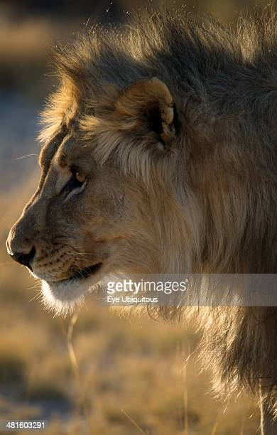 Namibia Etosha National Park Profile shot of a Male Lion in the early morning light