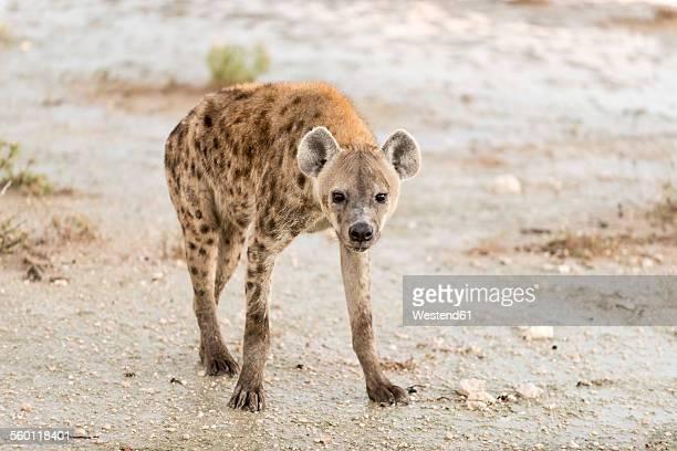 Namibia, Etosha National Park, Spotted hyaena, crocuta crocuta
