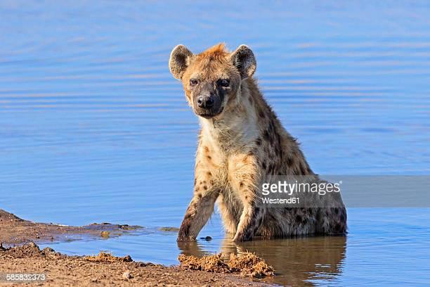 Namibia, Etosha National Park, spotted hyena sitting at Chudop waterhole
