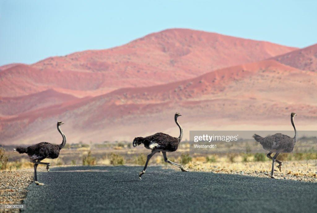 Namibia, Etosha National Park, three wild male ostrichs crossing a road : Stock Photo