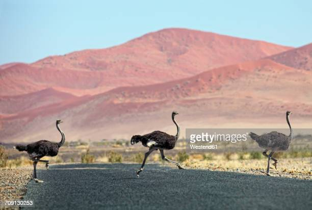 namibia, etosha national park, three wild male ostrichs crossing a road - ostrich stock photos and pictures