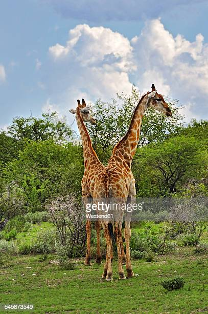 namibia, etosha national park, two giraffes, giraffa camelopardalis - optical illusion stock photos and pictures