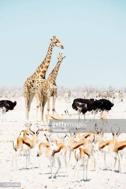 Namibia, Etosha National Park, two giraffes, ostriches, springboks and zebras