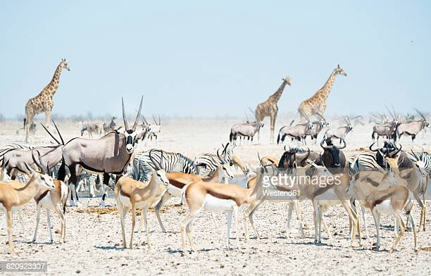 Namibia, Etosha National Park, wild animals at a waterhol