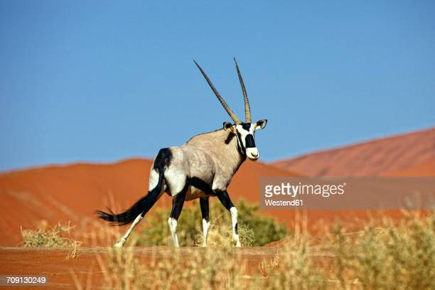 Namibia, Gemsbok in typical desert habitat