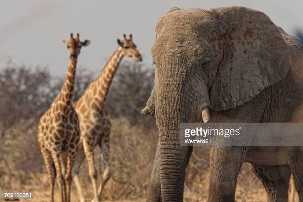 Namibia, giraffes and elephant in Etosha National Park