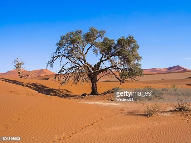 Namibia, Hardap, Naukluft Park, camel thorn at edge of Namib Desert