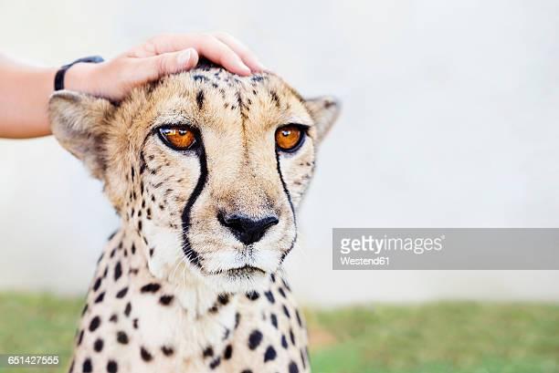 namibia, kamanjab, man's hand petting a tame cheetah - tame stock pictures, royalty-free photos & images