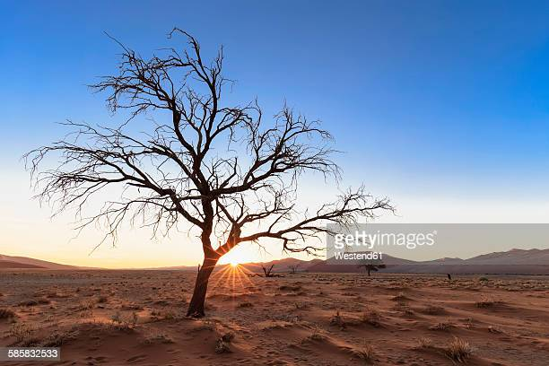 Namibia, Namib Desert, Namib Naukluft National Park, dead acacia at backlight