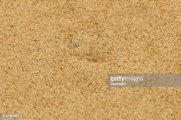 Namibia, Namib desert, Swakopmund, Sidewinder Snake hidden under the desert sand