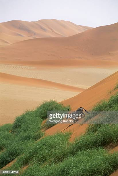 Namibia Namibnaukluft National Park Sossusvlei Sand Dunes Oryx Going Down Dune