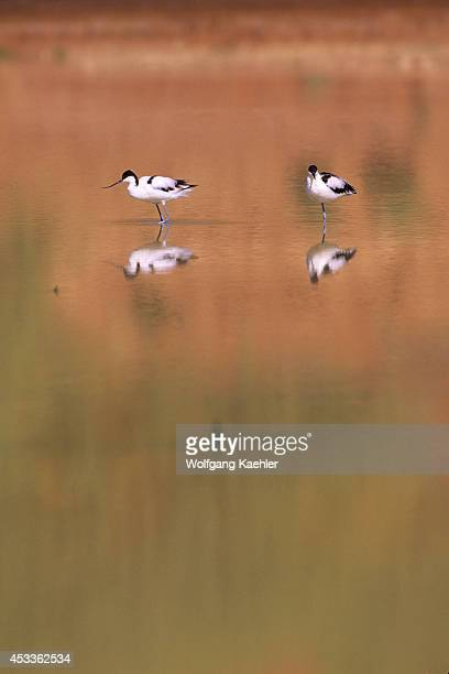 Namibia Namibnaukluft Park Sossusvlei Avocets In Shallow Water Of Lake Reflections