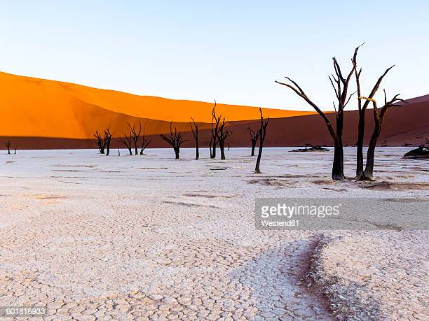 namibia, naukluft park, namib desert, dead vlei, dead camel thorns in front of dune - dead vlei namibia stock pictures, royalty-free photos & images