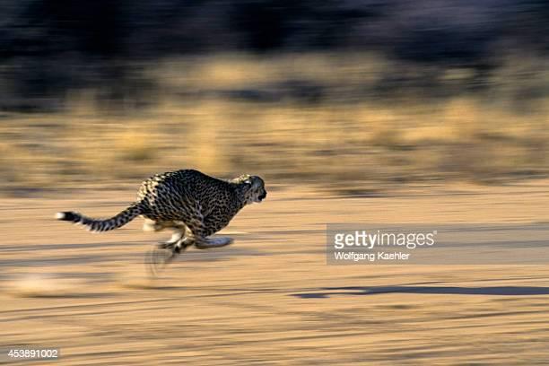 Namibia Okonjima Cheetah Running