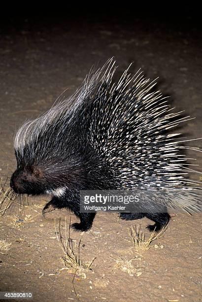 Namibia Okonjima Porcupine