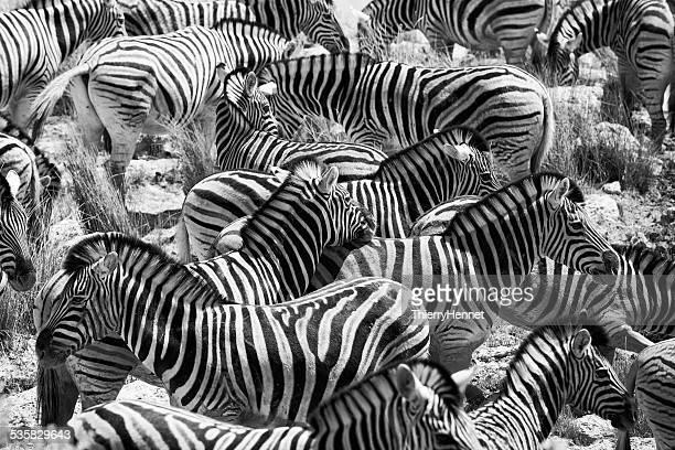 Namibia, Oshikoto Region, Omuthiya, Etosha-Pfanne, Zebras on prairie