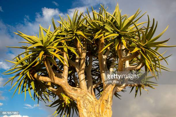 Namibia Quiver Tree with blue sky in the background