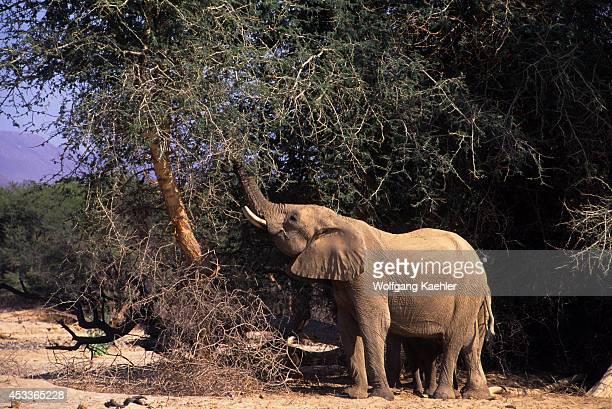 Namibia Skeleton Coast National Park Huab Valley Desert Elephant