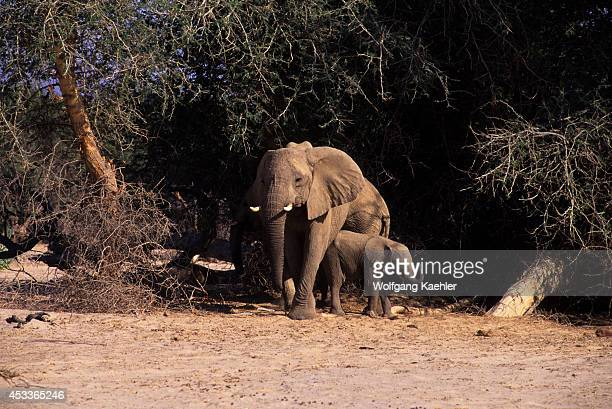 Namibia Skeleton Coast National Park Huab Valley Desert Elephants