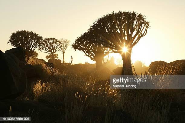 namibia, trees at dawn - dawn dunning stockfoto's en -beelden