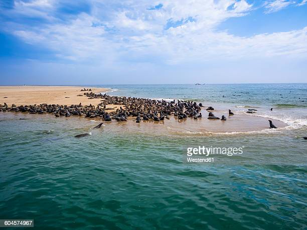 namibia, walvis bay, cape fur seals lying on sandy beach - walvis bay stock photos and pictures