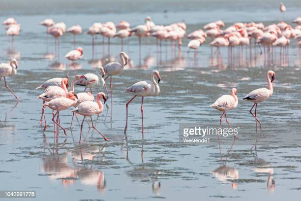 Namibia, Walvis Bay, flock of American flamingos and Lesser flamingos