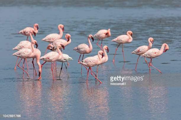namibia, walvis bay, flock of american flamingos and one lesser flamingo - walvis bay stock photos and pictures