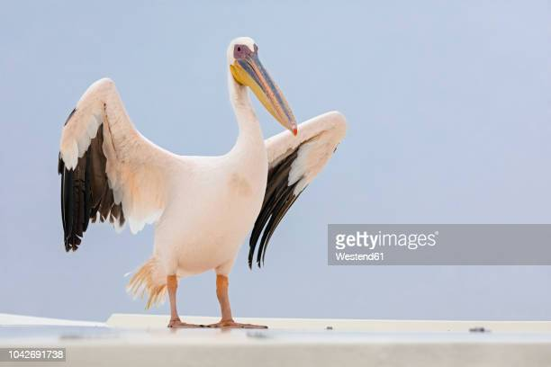 namibia, walvis bay, portrait of white pelican - pelicans stock pictures, royalty-free photos & images