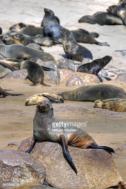 Namibian cape fur seals resting on beach