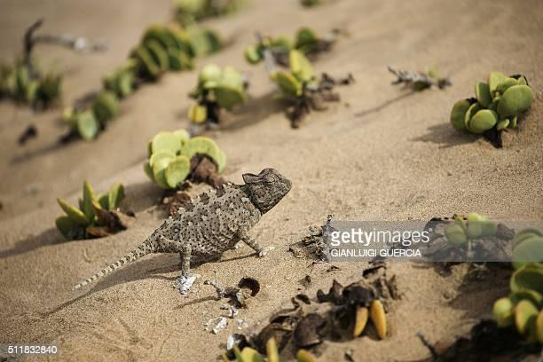 A Namibian desert chameleon climbs through vegetation and sand dunes in the desert area of the Dorob National Park part of the Namib desert on...