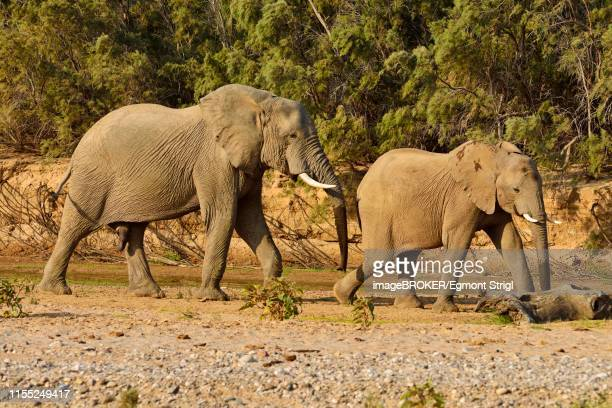 namibian desert elephants (loxodonta africana), bull and cow, hoarusib river, namib desert, kaokoland, kaokoveld, kunene province, namibia - desert elephant stock pictures, royalty-free photos & images