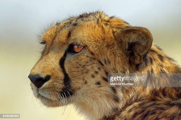 Namibian safari cheetah face close up