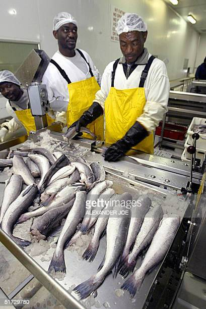 Namibian worker in the Blue Ocean Fish factory sorts the Hake 11 November 2004 that just arrived from the trawler Hurinis into the west coast port of...