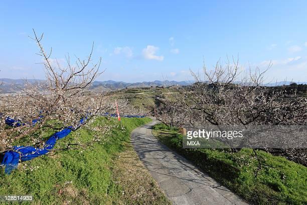 nanbu plum orchard, minabe, hidaka, wakayama, japan - präfektur wakayama stock-fotos und bilder