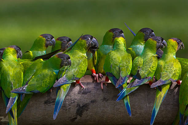 Nanday parakeets perched in a row in the forests of the Pantanal, Brazil