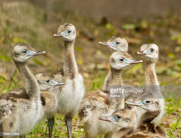 nandu chicks - nutztier stock pictures, royalty-free photos & images